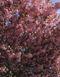 Blomstrende træ